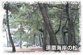 須磨海岸の松