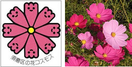 須磨区の花コスモス