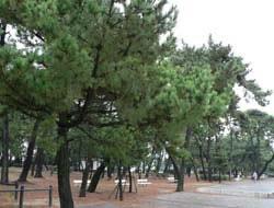 神戸市須磨区の木「松」